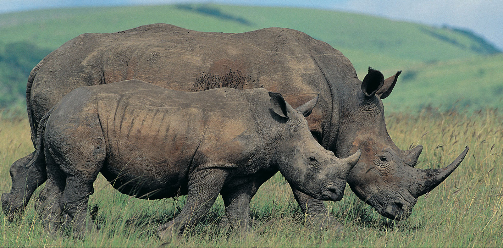 ANC government should hang their head in shame on this World Rhino Day